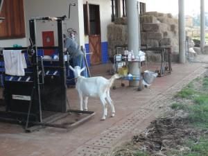 Serviço de Buiatria e Clínica de Pequenos Ruminantes