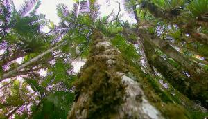 Palmeira Juçara (Euterpe edulis) - Foto: EPTV